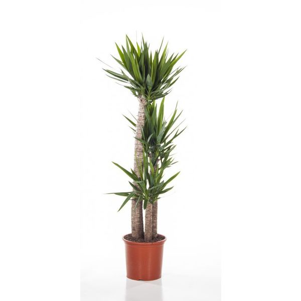 Yucca Elephantipes Xl Eenvoudig En Snel Online Bestellen Fleur Nl