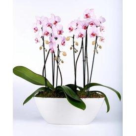 Fleur.nl - Orchidee Pink in Scale long