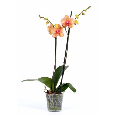 Orchidee Orange Stripe