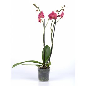 Fleur.nl - Orchidee Ordine Red