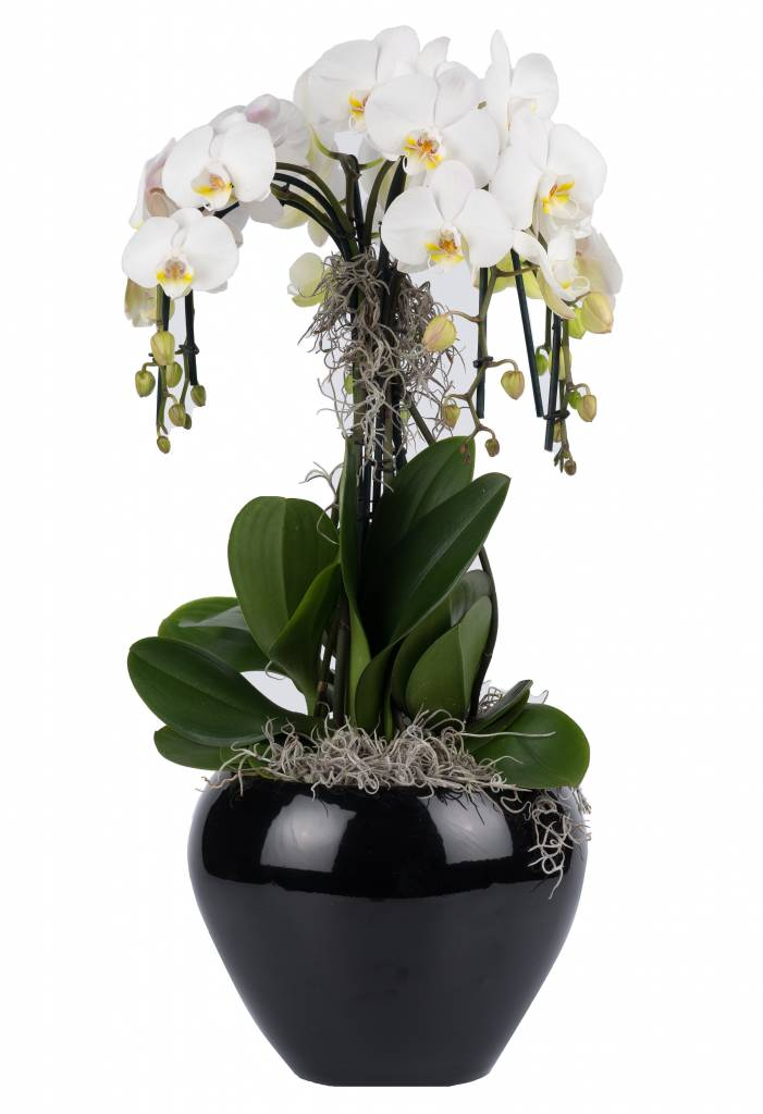orchidee waterfall in pot black eenvoudig en snel online. Black Bedroom Furniture Sets. Home Design Ideas