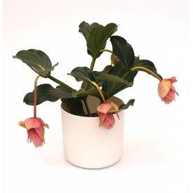 Fleur.nl - Medinilla Magnifica in pot Elho