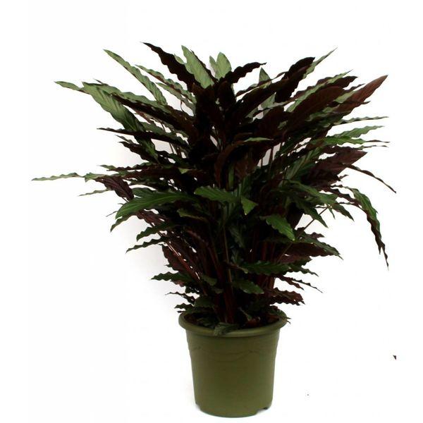Calathea Barbarufi XL