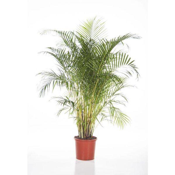Palm Areca Lutescens Xl Eenvoudig En Snel Online Bestellen Fleur Nl