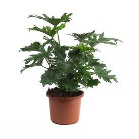 Fleur.nl - Philodendron Selloum Large