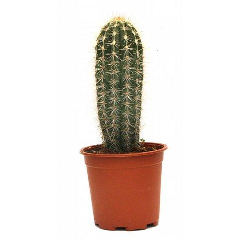 Cactus Trybes