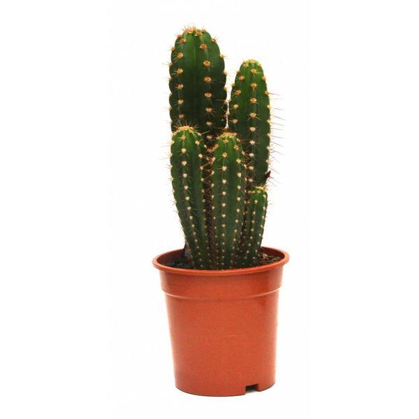Cactus Trybes Multi