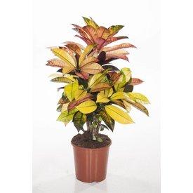 Fleur.nl - Croton stuik medium