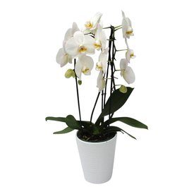 Fleur.nl - Orchidee White Cascade in pot White