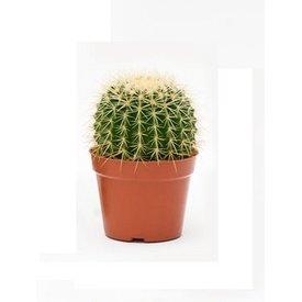 Fleur.nl - Cactus Echino Grusoni small