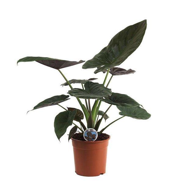 Alocasia Wentii medium