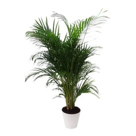 Fleur.nl - Palm Areca Lutescens in pot Artstone wit