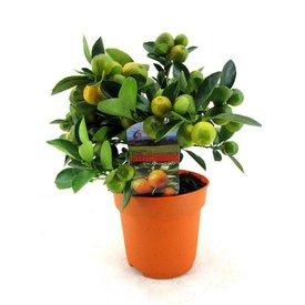 Fleur.nl - Sinaasappelboom Sinensis Bush Small