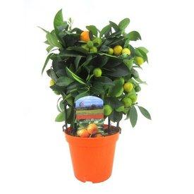 Fleur.nl - Sinaasappelboom Sinensis Small Rek