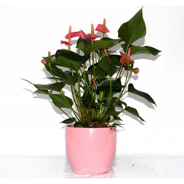 Anthurium roze in bloempot