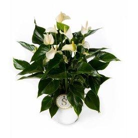 Fleur.nl - Anthurium Wit Medium