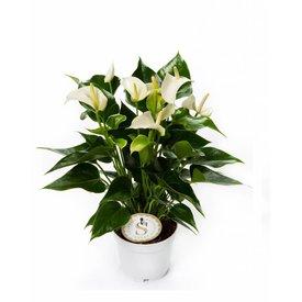 Fleur.nl - Anthurium Wit small