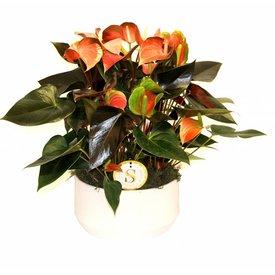 Fleur.nl - Anthurium Oranje in keramische pot
