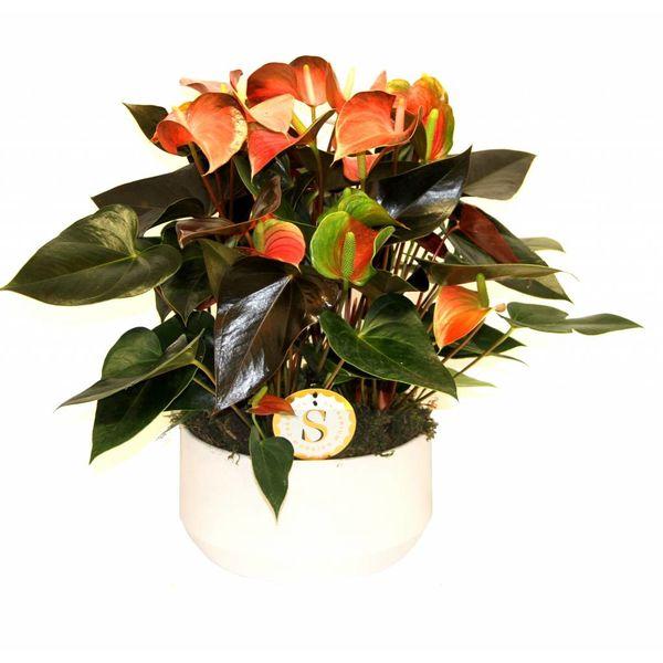Anthurium Oranje in keramische pot