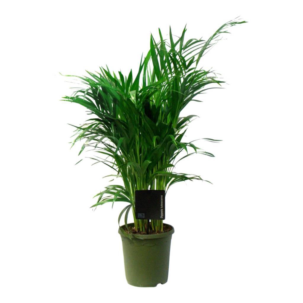 Palm areca lutescens small eenvoudig en snel online for Grote kamerplanten