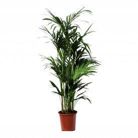 Fleur.nl - Palm Kentia Howea XL