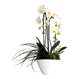 Fleur.nl - Orchidee White Cacsade in pot complete