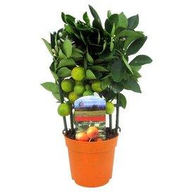 Fleur.nl - Sinaasappelboom Sinensis XS