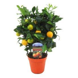 Fleur.nl - Sinaasappelboom Sinensis Medium Rek