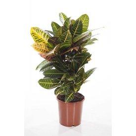 Fleur.nl - Croton struik Nerve small
