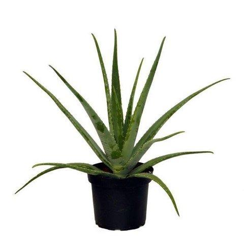 Aloe Vera plant XL