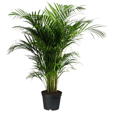 Palm Areca Lutescens Large