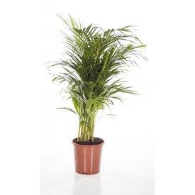 Fleur.nl - Palm Areca Lutescens XS