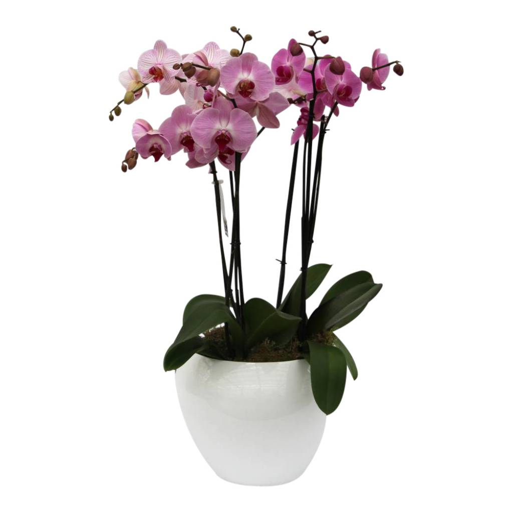 orchidee pink in pot round large eenvoudig en snel online bestellen. Black Bedroom Furniture Sets. Home Design Ideas