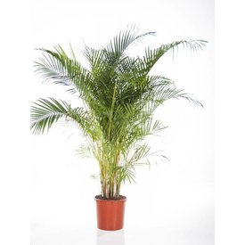 Fleur.nl - Palm Areca Lutescens XXL