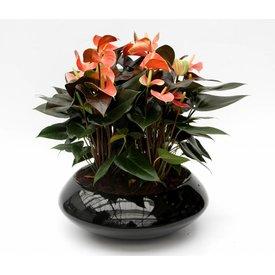 Fleur.nl - Anthurium in schaal zwart (large)