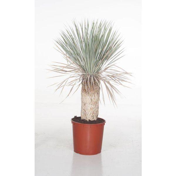Yucca Rostrata Enkele Stam Xl Eenvoudig En Snel Online Bestellen