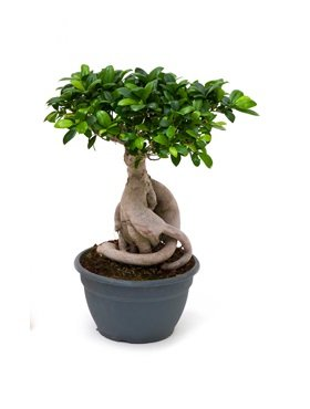 ficus bonsai microcarpa compacta eenvoudig en snel online bestellen. Black Bedroom Furniture Sets. Home Design Ideas