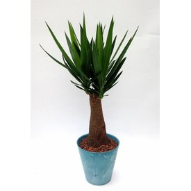 Fleur.nl - Yucca Elephantipes in pot blauw