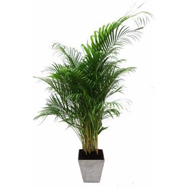 Fleur.nl - Palm Areca Lutescens in pot Artstone grijs