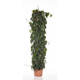 Fleur.nl - Philodendron Scandens Zuil XL