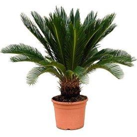 Fleur.nl - Cycas Palm Revolta