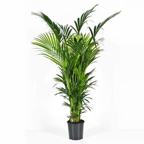 Palm Kentia Howea Forsteriana XXXL