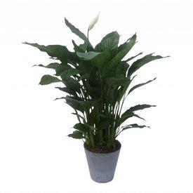 Fleur.nl - Spathiphyllum in pot Artstone