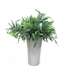 Fleur.nl - Phlebodium Blue Star in pot elho