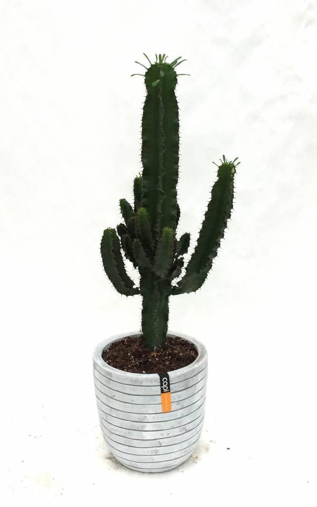 Cactus Kopen Ruim Aanbod Van Leuke Cactussen Fleur Nl