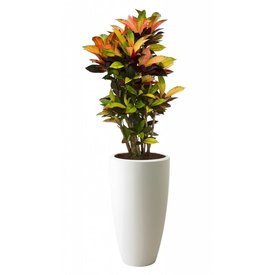 Fleur.nl - Croton Iceton in pot Elho