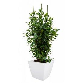 Fleur.nl - Ficus Moclame Toef met pot Elho