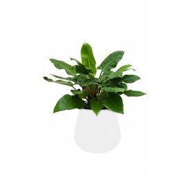 Fleur.nl -Elho Philodendron Imperial Green in Pot White