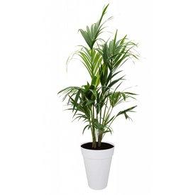 Fleur.nl - Palm Kentia Howea in Pot Elho