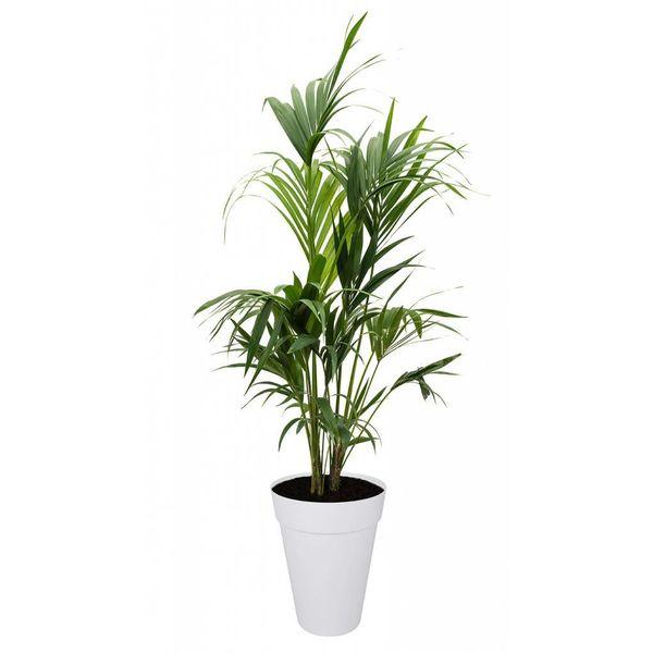 Palm Kentia Howea in Pot Elho
